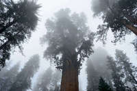 Giant Sequoia, Sequoia National Park